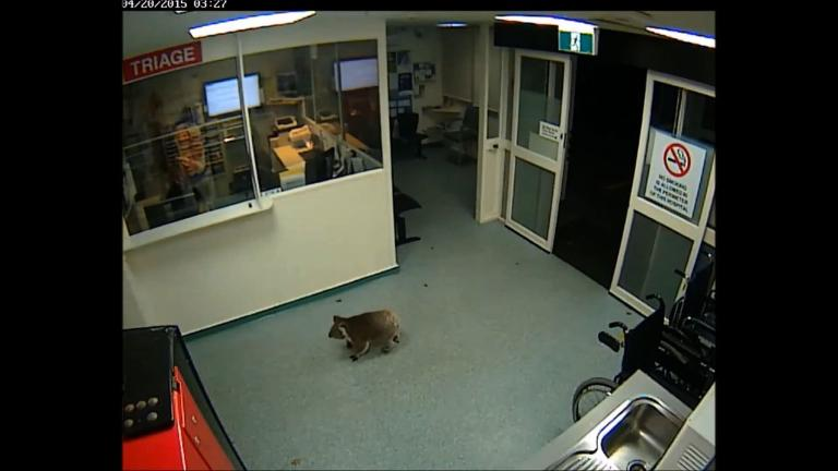 Koala 'Blinky Bill' saunters into Australian hospital