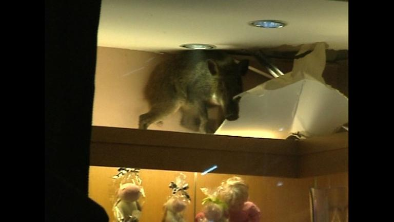 Wild boar falls through ceiling at shopping mall