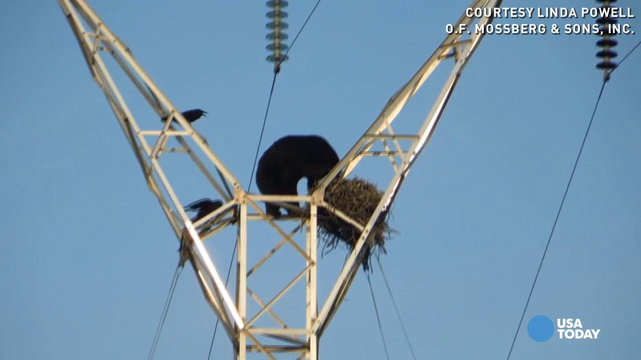 Watch bear teeter on power pole to raid bird's nest