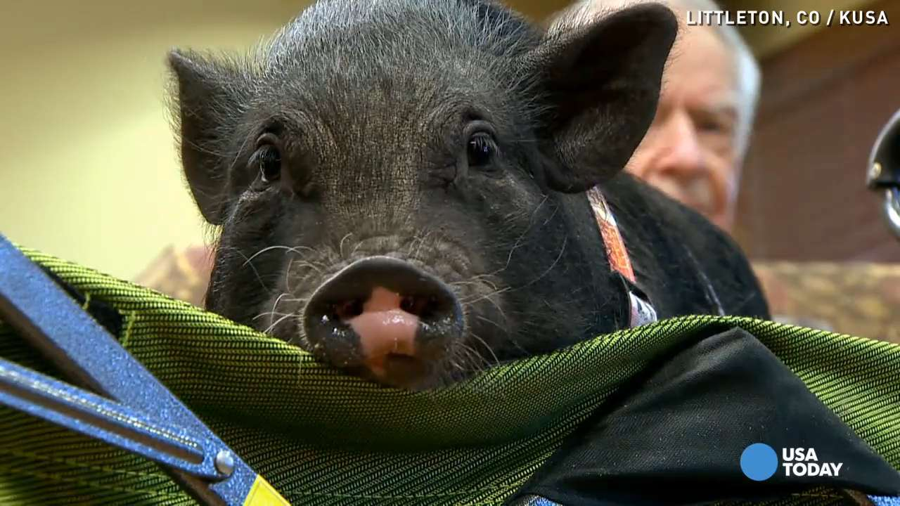 Mini pot-bellied pigs love on Alzheimer's patients
