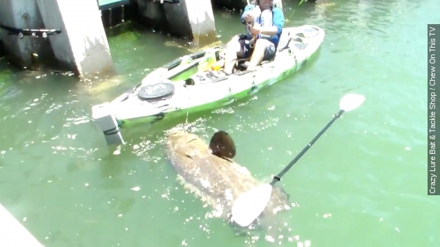 Man in kayak catches massive Fish weighing over 550 pounds