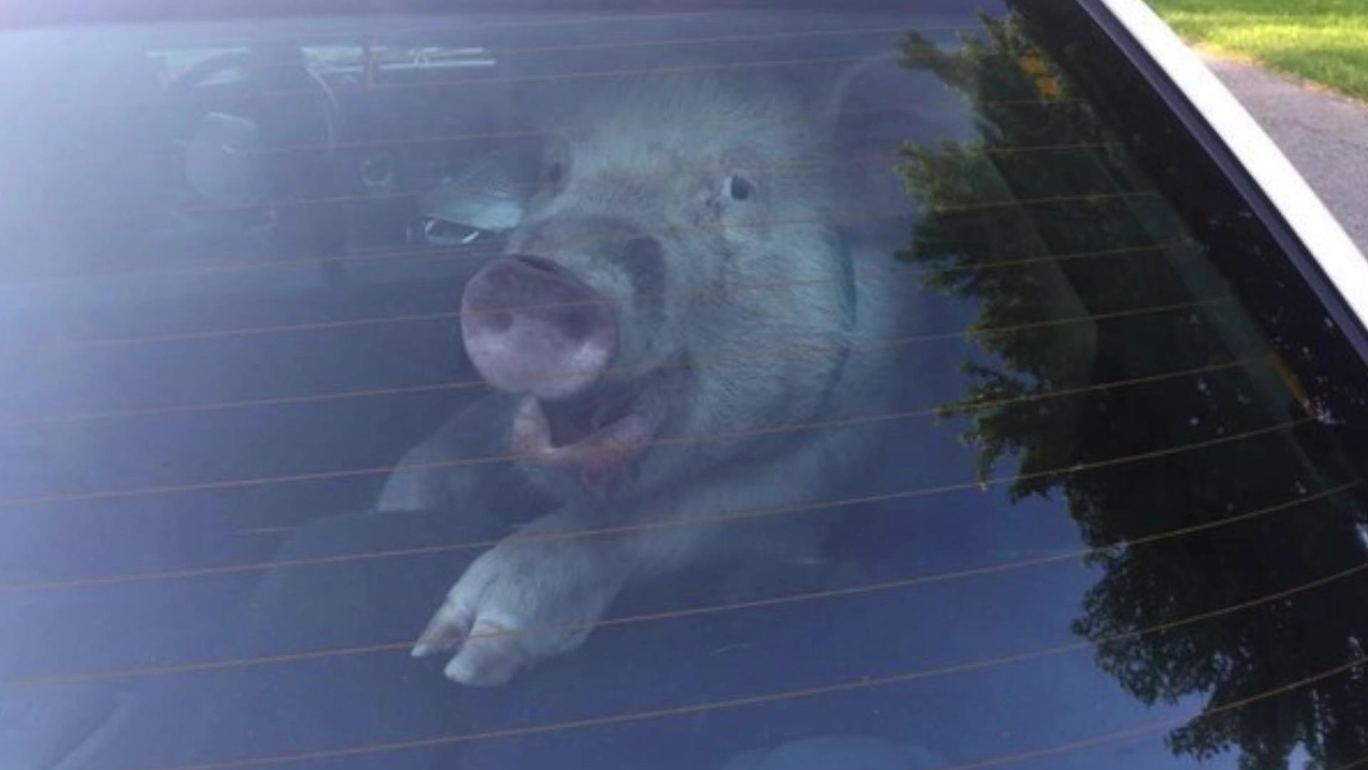 Pig turns cop car into pig pen
