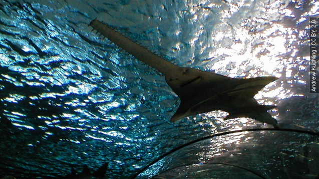 Endangered sawfish capable of virgin births