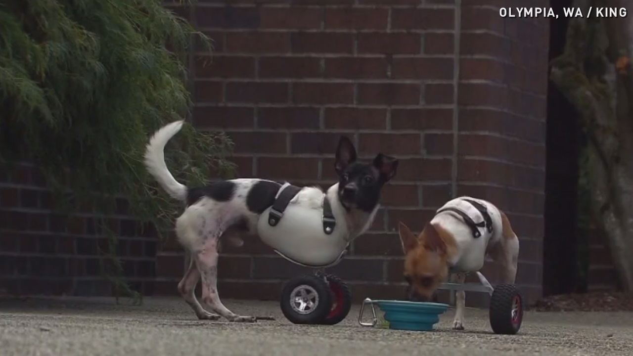 Monster truck wheels give these dogs a new leash on life