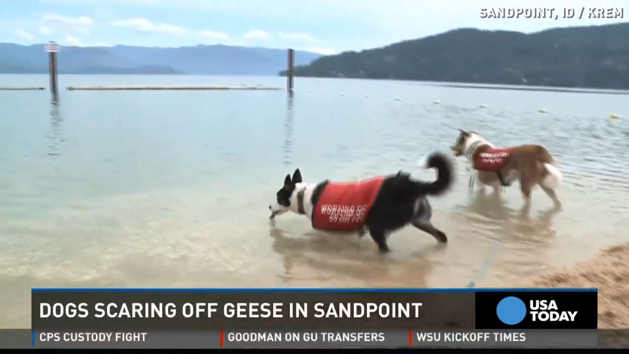 'Geese chasing' dogs solve city's longtime problem