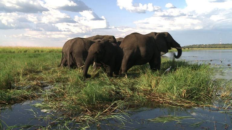"Elephants find ""political refuge"" on Botswana's plains"