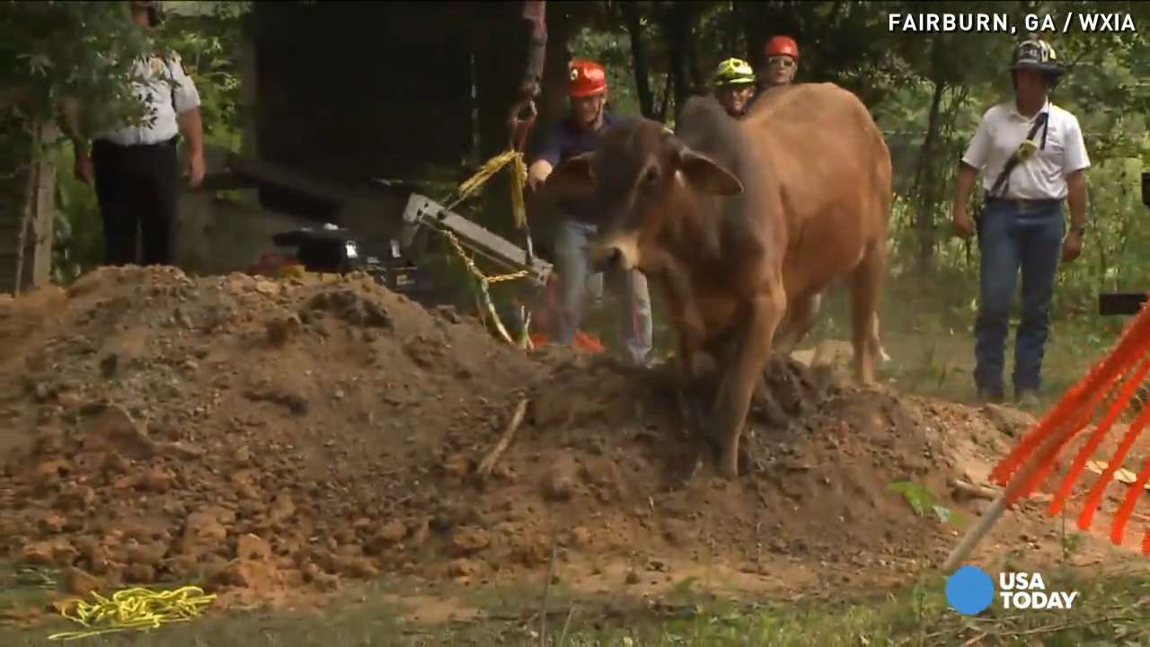 Watch: 1,500-pound bull rescued from well