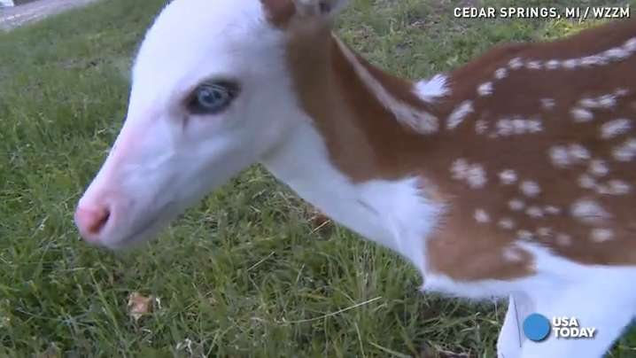 Rare fawn like 'real life Rudolph'