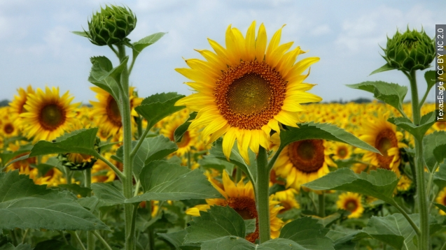 World's tallest sunflower requires its own scaffolding