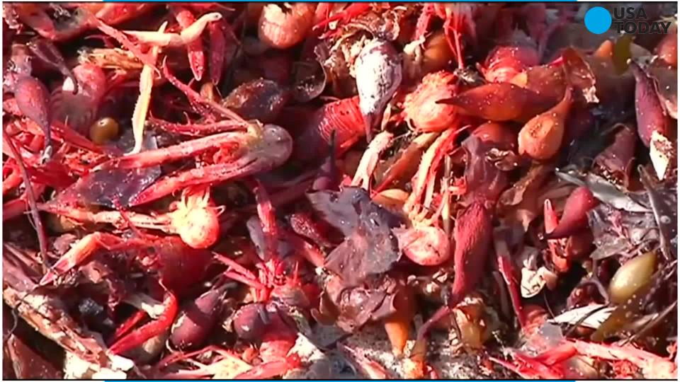 Red tuna crabs invade southern California shores