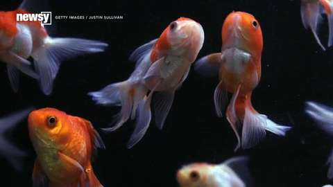 Flushed goldfish prompt invasive species scare in Canada