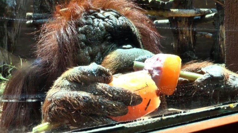 Vegetable ice cream? A heatwave treat for zoo animals