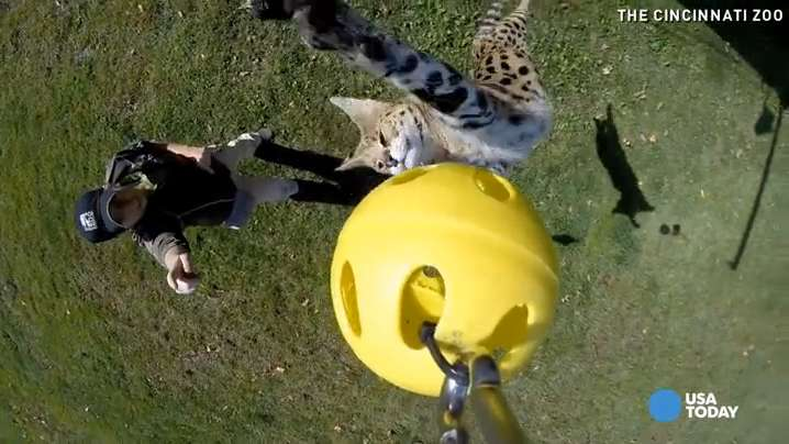 Watch serval smack GoPro hanging 10 feet in the air