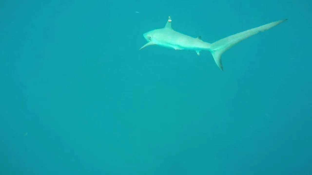 Go underwater on a shark tagging adventure!