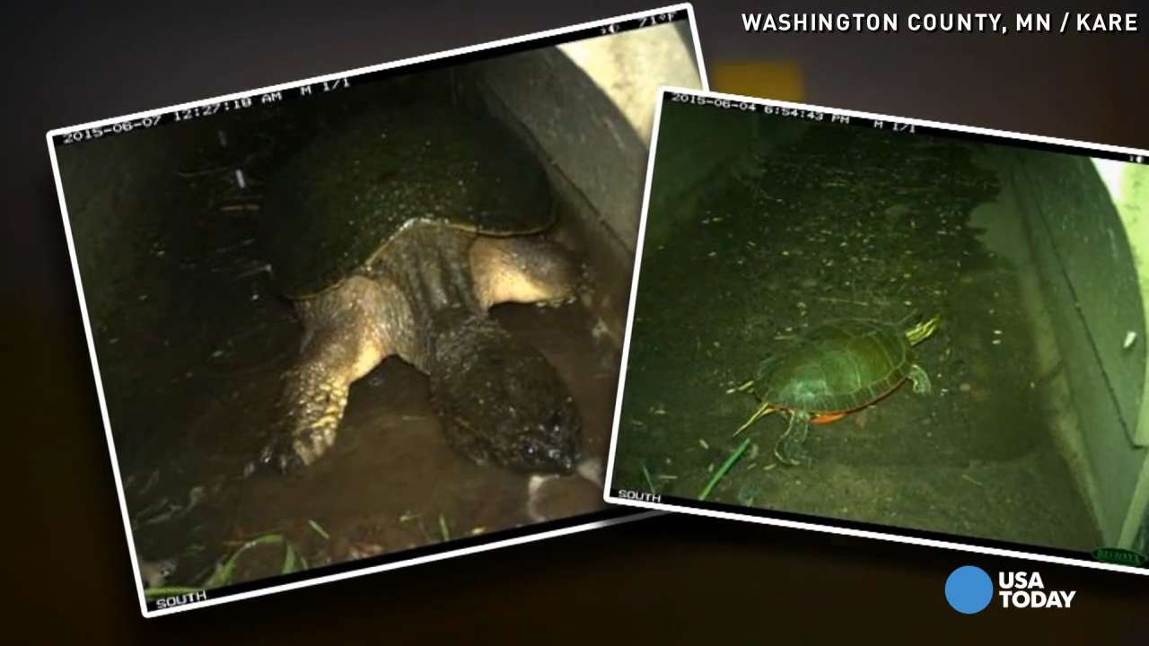 'Turtle tunnel' near highway saves human, animal lives