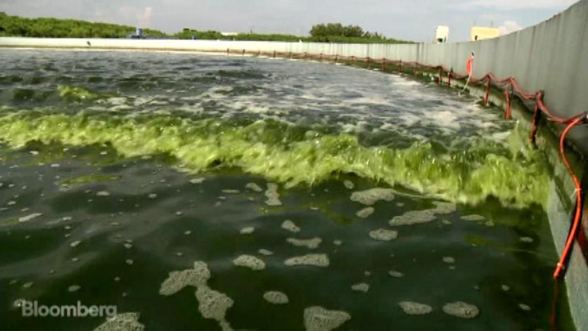 Pond scum: The fuel of the future?