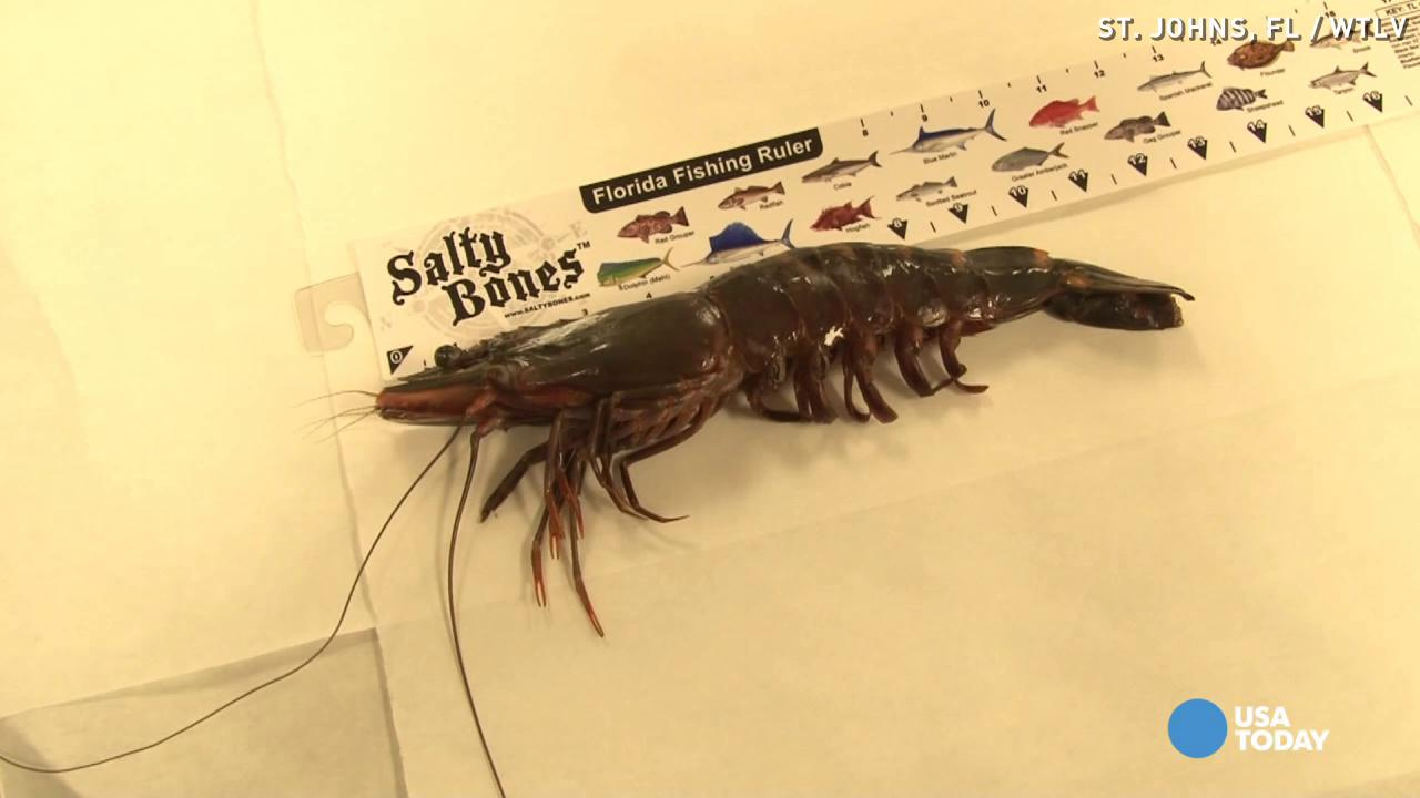 Foot-long shrimp caught, surprises anglers
