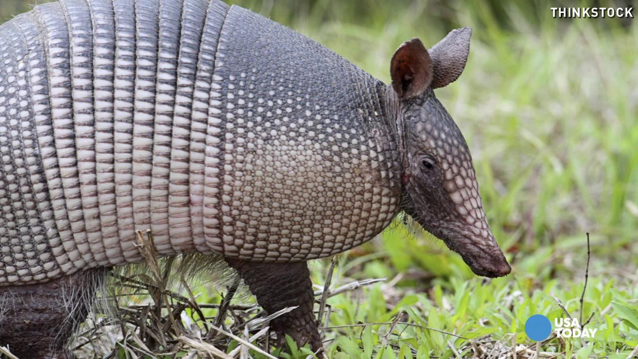 Floridians warned about leprosy-infected armadillos