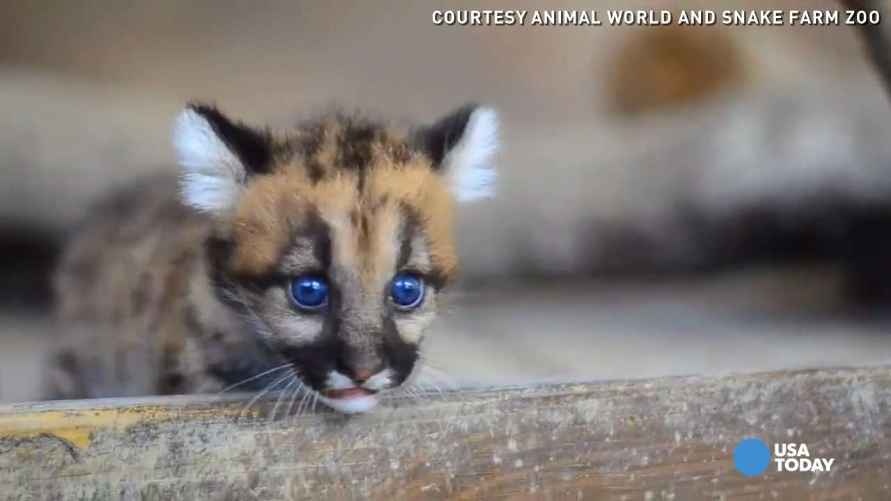 Watch: Baby cougars romp around their new home