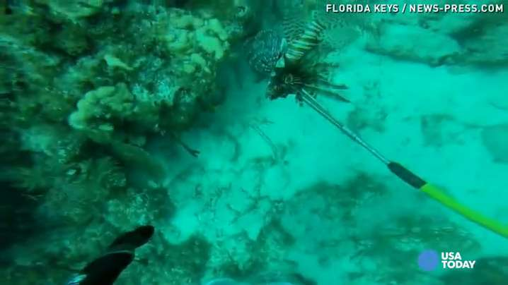 Lionfish: bad for Florida, good to eat