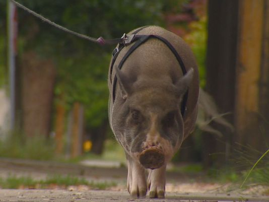 This pig with a punny name is not your average pet