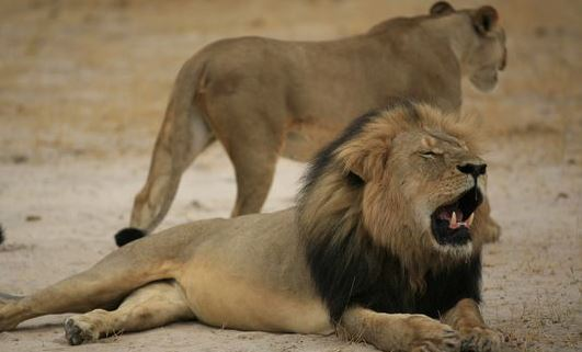 Dentist who killed Cecil the lion could face charges