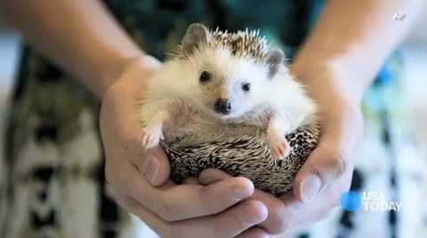 How many Americans own pet hedgehogs? Ask USA TODAY