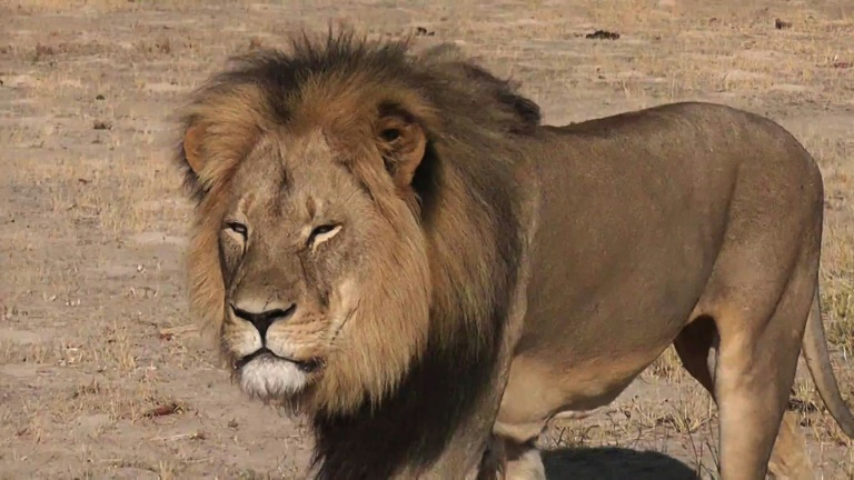 Zimbabweans react to death of Cecil the lion