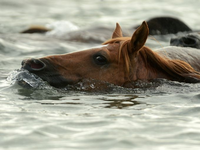 Wild pony herd makes waves during 90th annual swim