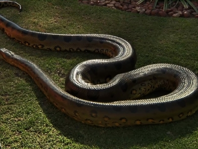 Meet the anaconda that has lived 32 years in captivity