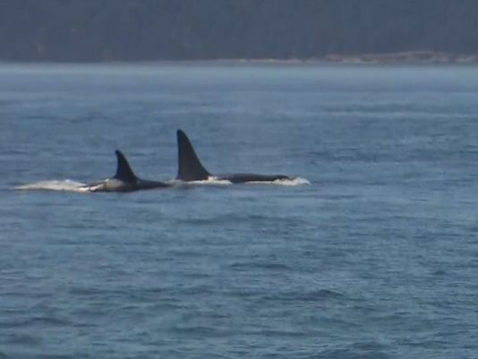 Rare orca calves get protection patrols