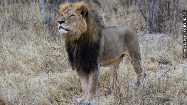New reports say Jericho, Cecil The lion's Ally, is alive