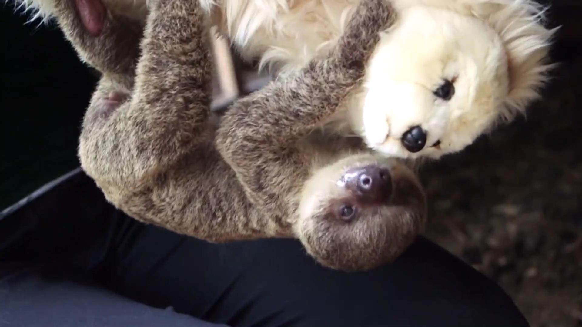 Zookeepers use stuffed animal to raise adorable baby sloth