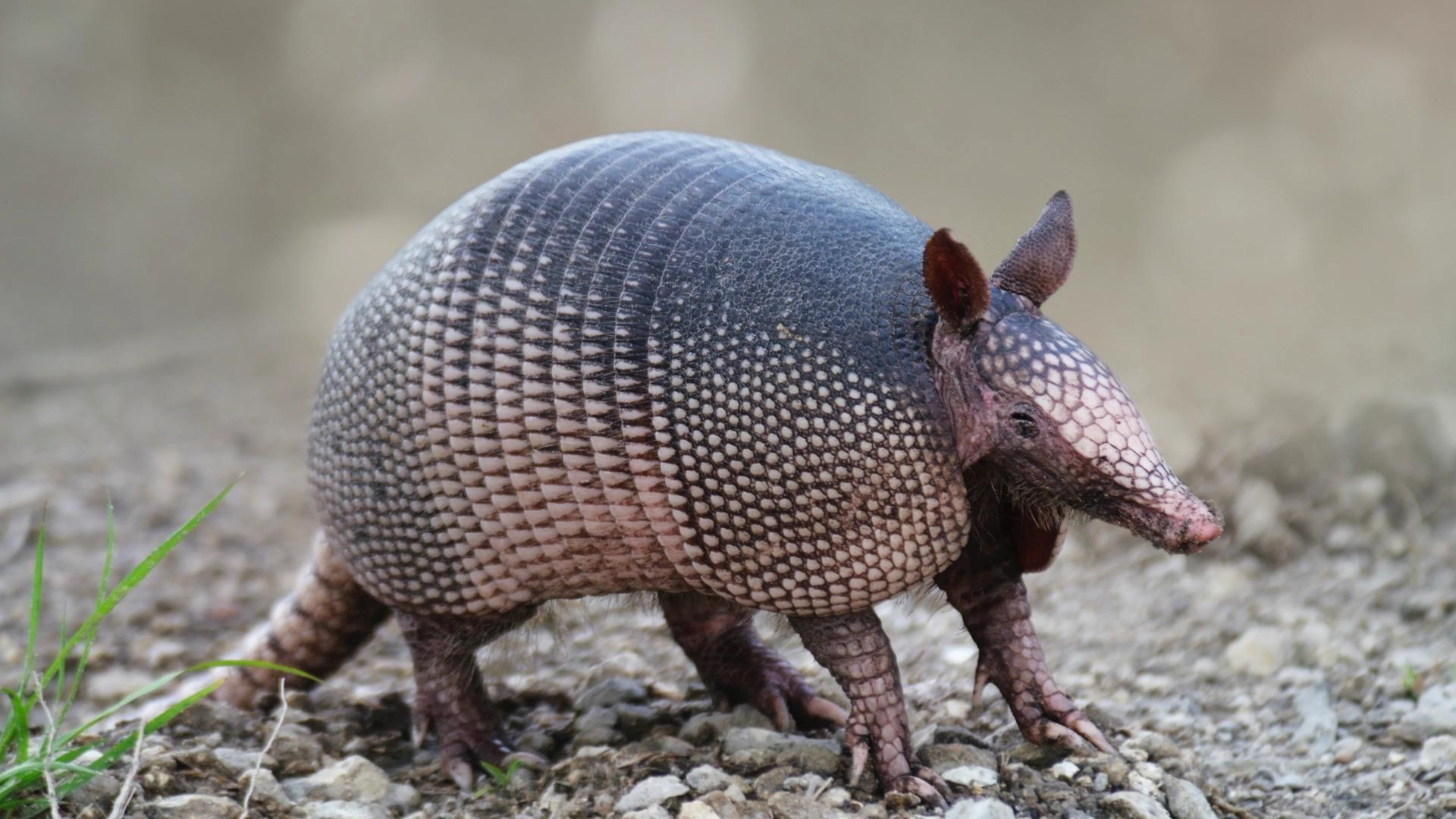 Man tries to shoot armadillo, but shoots himself instead