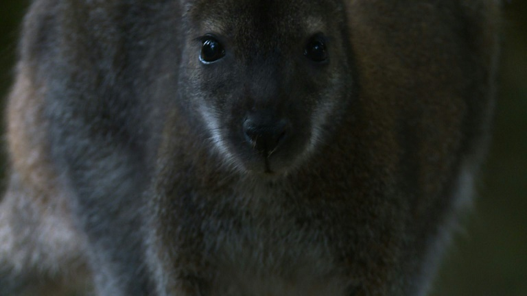A few Wallabies escaped from a reserve in a French forest 40 years ago, and have since thrived in the wild on the outskirts of Paris. Researchers believe at least 100 now happily inhabit a French forest, a world away from their native Australia. Vid