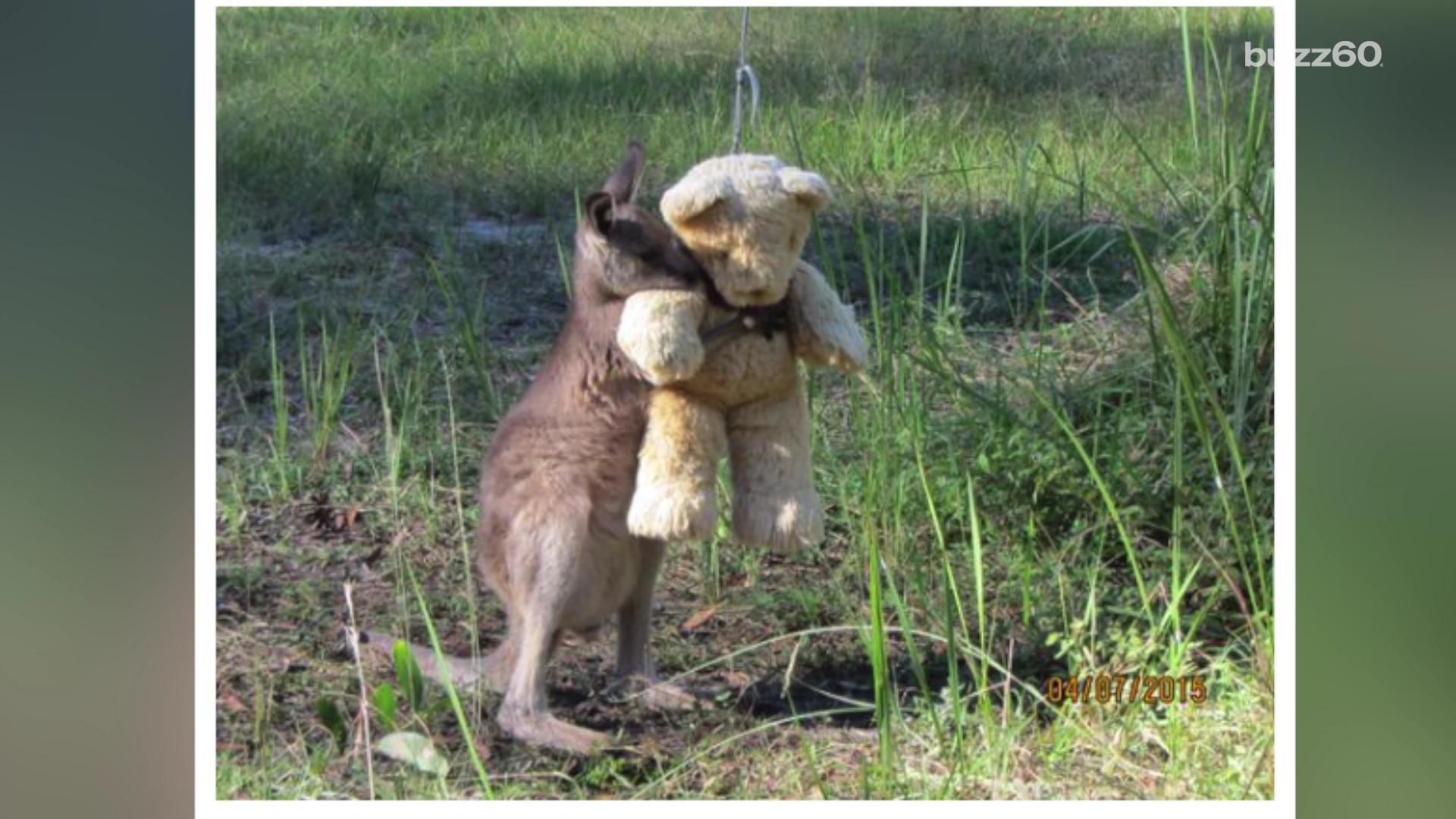 Photo of baby kangaroo snuggling a teddy bear goes viral