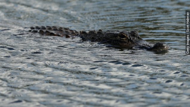 Alligator captured and killed after biting off woman's arm