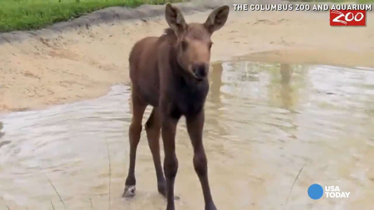 Adorable baby moose loves to splash in pool