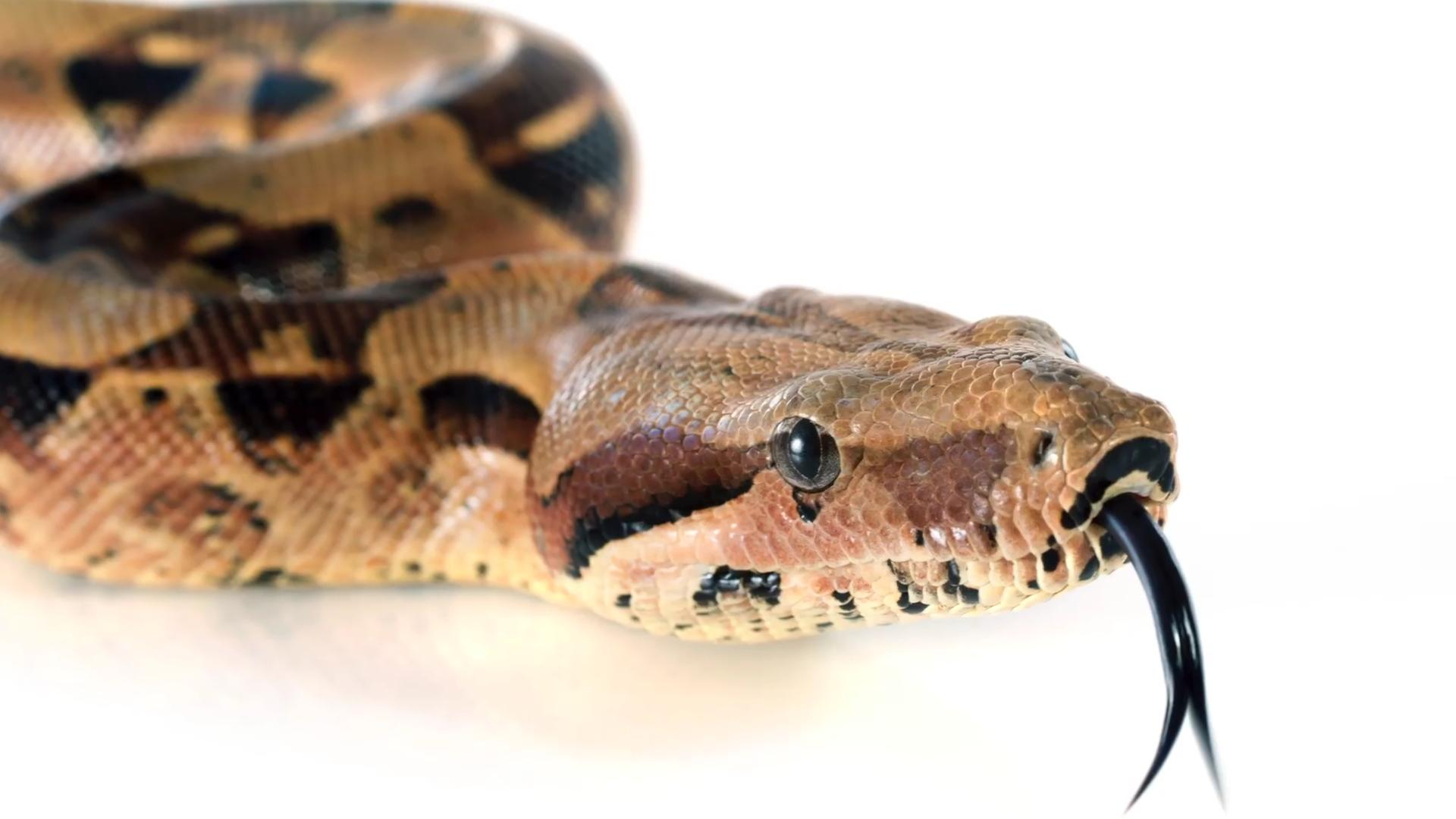 Man brings snake into restaurant, says it's a service animal