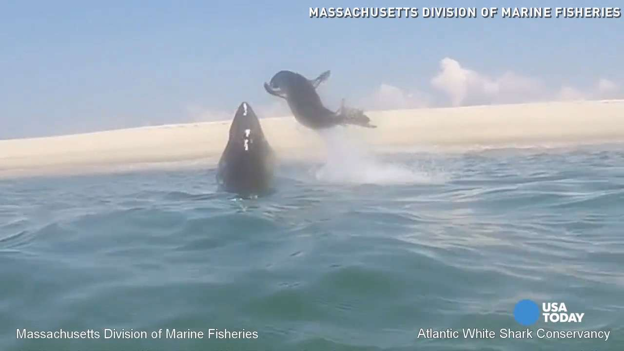 Seal leaps to escape great white shark in crazy video