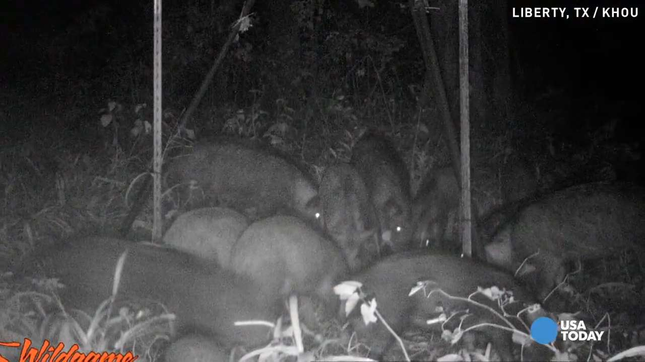 Football field-ruining feral hogs a nightmare for team