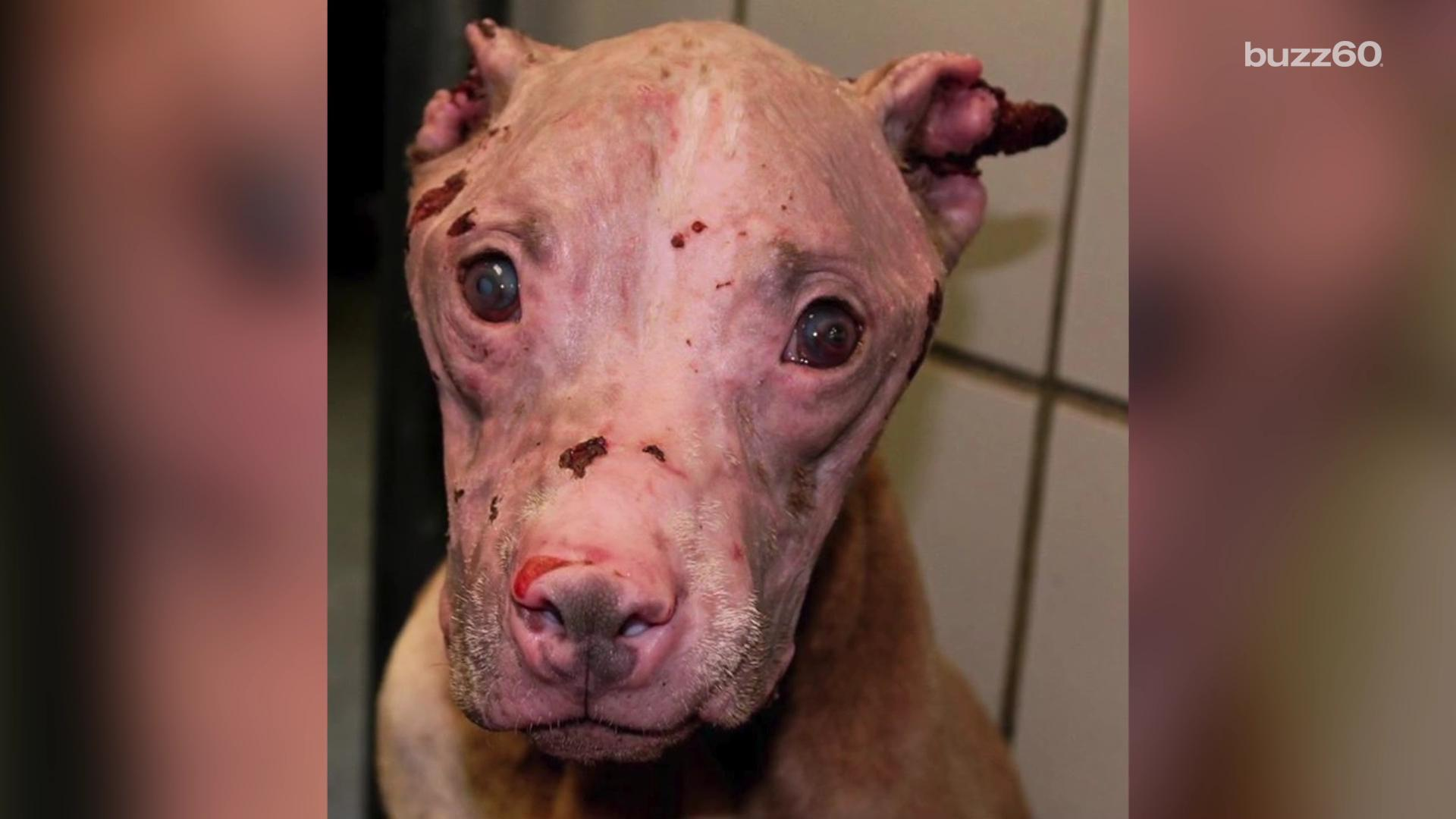 Rescue dog doused with acid gets second chance at life