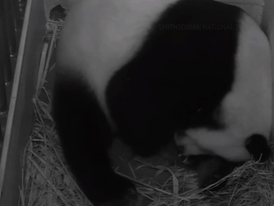 National Zoo: 2nd Panda Cub 'Very Healthy'