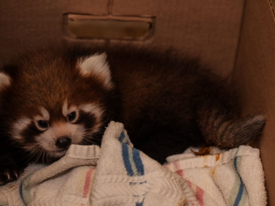 Raw: Red Panda Cubs 1 Step Closer to Leaving Den