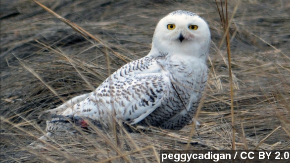 Snowy owls have arrived in New York City