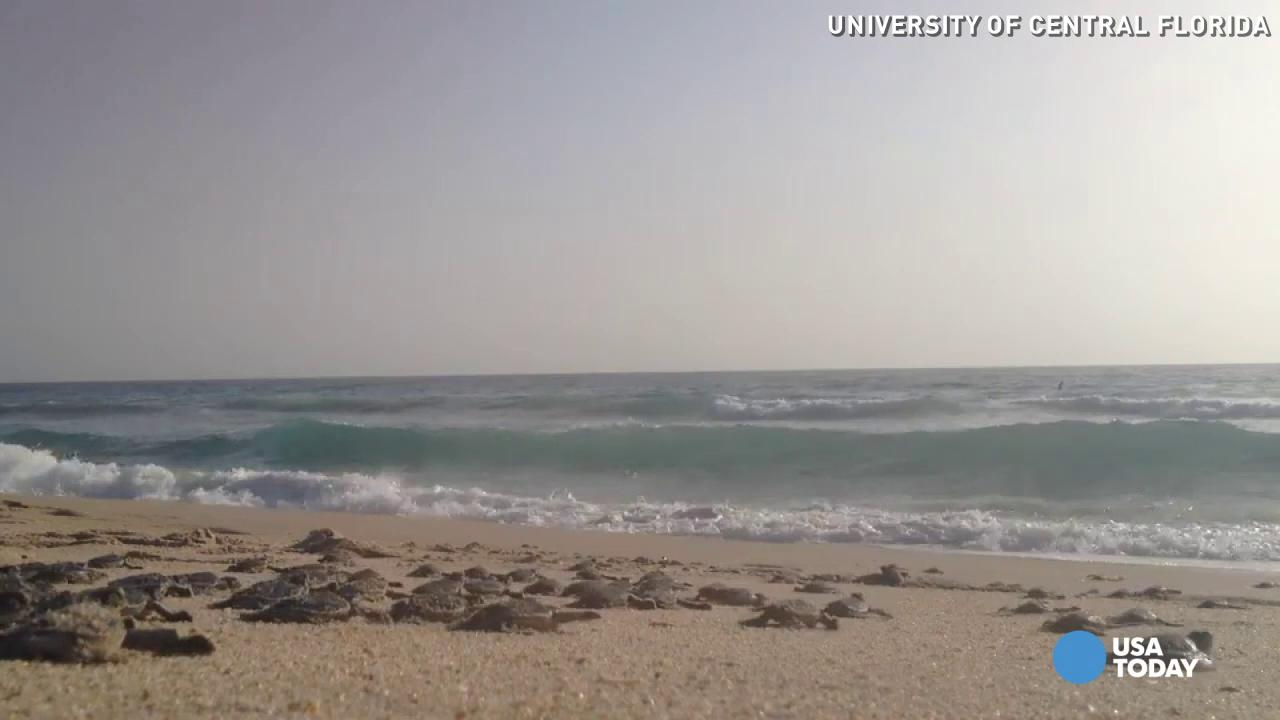 Watch an army of baby sea turtles scurry to the ocean