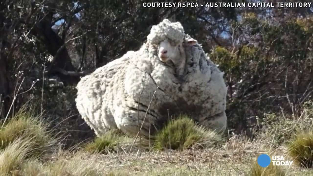 Holy sheep! 93 pounds of wool shorn from lost ram