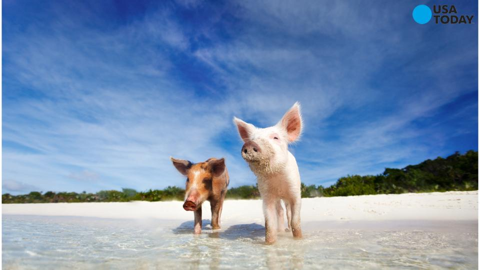 Check out the island of swimming pigs!