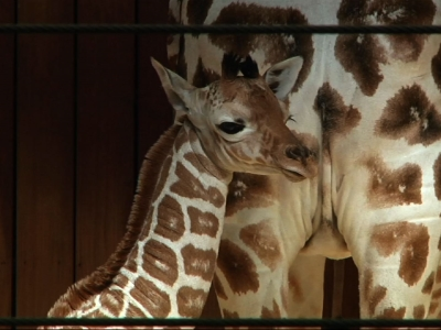 Milwaukee Zoo Welcomes New Baby Giraffe