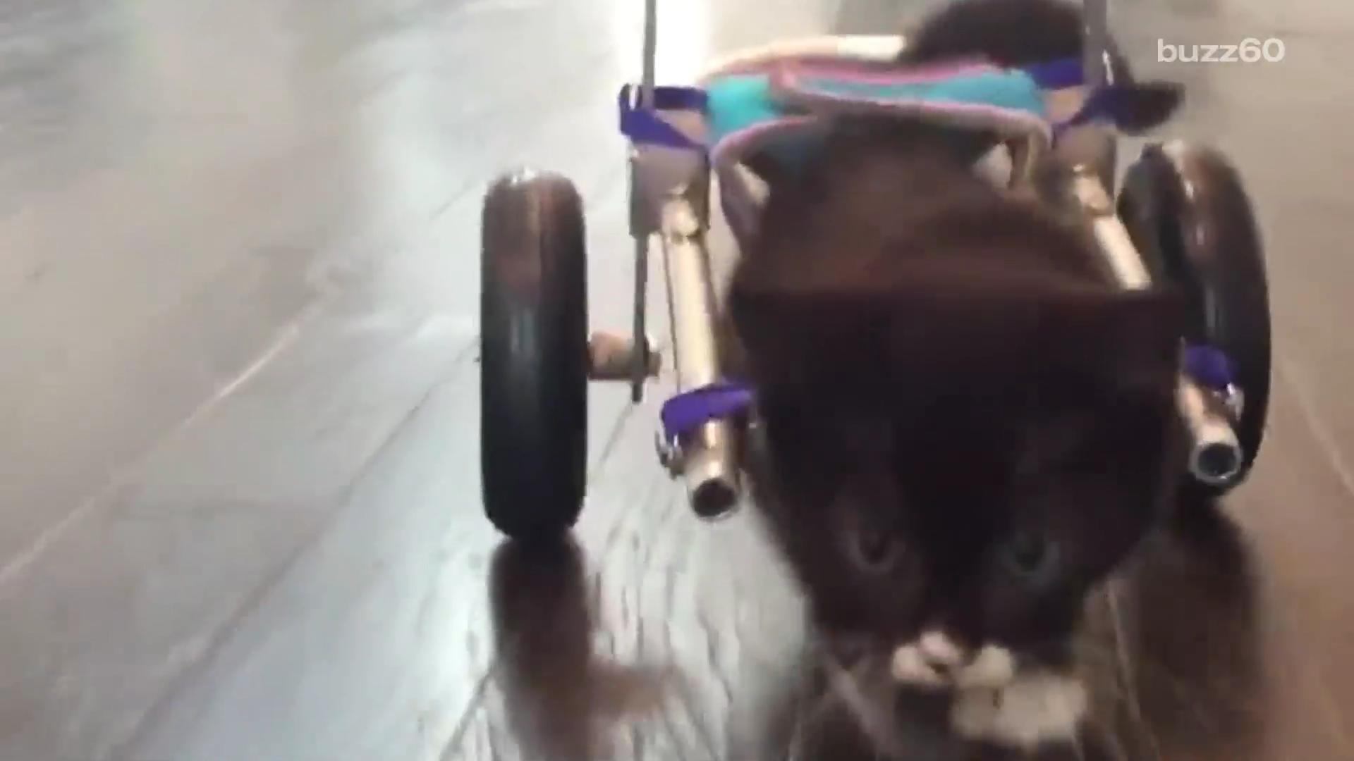 Kitten with no hind legs takes his first steps in tiny wheelchair
